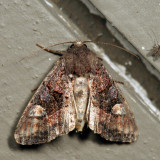 9545 - American Angle Shades - Euplexia benesimilis 6.29.9