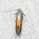 2229 – Stripe-backed Moth – Battaristis vittella 6.29.23