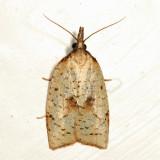3706 - Mosaic Sparganothis - Sparganothis xanthoides 6.29.29