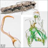 1828 - Coleotechnites quercivorella
