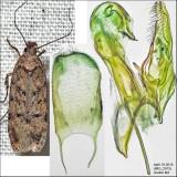 2058.5 - Chionodes baro (male)