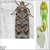 2058.5 - Chionodes baro (female)