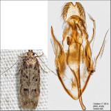 2119 - Chionodes thoraceochrella (male)