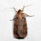 11010 - Lycophotia phyllophora 6.30.17