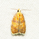 3502 - Red-edged Acleris - Acleris albicomana 6.30.27