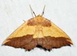 6724 Saw-wing - Euchlaena serrata