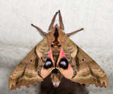 7824 – Blind-eyed Sphinx – Paonias excaecata