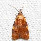 3716 – Spring Dead-leaf Roller – Cenopis diluticostana 7.1.13