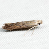 1702 - Isophrictis similiella 7.1.27