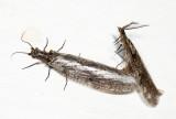 Spring Fishflies - Chauliodes rastricornis (mating)