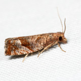 3120 - Derelict Eucosma - Eucosma derelicta 7.2.12