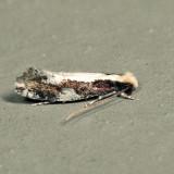 0416 - Skunkback Monopis - Monopis dorsistrigella 7.2.30