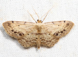 7126 – Single-dotted Wave – Idaea dimidiata
