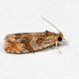 2778 – Olivaceous Olethreutes Moth – Olethreutes olivaceana 7.3.3