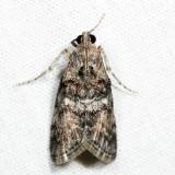 Pococera sp. 7.3.30