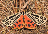 8197 - Virgin Tiger - Grammia virgo