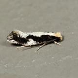 0416 - Skunkback Monopis - Monopis dorsistrigella 7.4.26