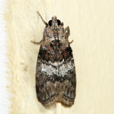 5608 – Striped Oak Webworm Moth – Pococera expandens 7.4.41