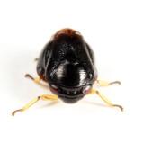 Clastoptera saintcyri