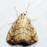 4897 – Purple-backed Cabbageworm Moth – Evergestis pallidata