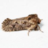 0373 – Clemens' Grass Tubeworm Moth – Acrolophus popeanella 7.5.1