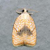 3501 - Maple Leaftier - Acleris forsskaleana *