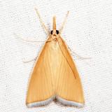 5298.1 - Sclerocona acutella *