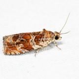 2810 – Olethreutes sericoranum *
