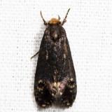 0434.1 – Pelecystola nearctica *