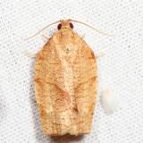 3634 – Zapulata Moth – Choristoneura zapulata *