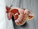 7764 - Promethia Moth- Callosamia promethea