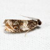 2823 – Olethreutes fasciatana *