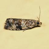2859 – Celypha Moth – Celypha cespitana 7.7.13