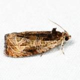 2800 – Variable Nigranum – Olethreutes nigranum 7.7.18