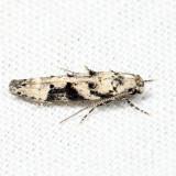 1792 – Coleotechnites atrupictella 7.7.26