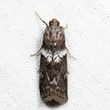 5775.1 – Salebriaria fasciata 7.7.27