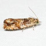 2778 – Olivaceous Olethreutes – Olethreutes olivaceana 7.7.30