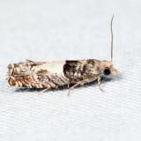3310 – Walker's Epinotia – Epinotia transmissana 7.8.19