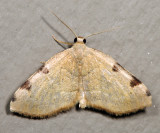 7647 - Three-spotted Fillip - Heterophleps triguttaria