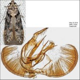 Pseudotelphusa sp. IMG_3126.jpg
