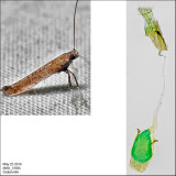 Caloptilia sp. IMG_3100.jpg