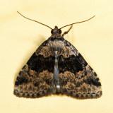 8426 - Visitation Moth - Dyspyralis illocata 7.11.19
