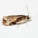 2787 – Bunchberry Leaffolder – Olethreutes connectum 7.12.6