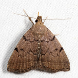 8349.1 – Zanclognatha dentata 7.12.15