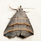 8411 - Yellow-lined Owlet - Colobochyla interpuncta 7.12.19
