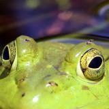 Forcipomyia fairfaxensis (feeding on the frog)