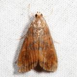 4751 – Waterlily Borer – Elophila gyralis 7.13.8