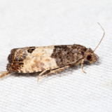 2906 – Eye-spotted Bud Moth – Spilonota ocellana 7.13.9