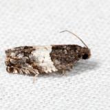3227 – Gypsonoma substitutionis 7.13.16
