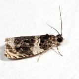 2823 – Olethreutes fasciatana 7.14.18